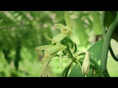 CHANEL SUBLIMAGE: the slow opening of the precious Vanilla Planifolia flower