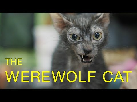 Werewolves Compete in Cat Show! - Werewolf Cats in TICA Cat Show - Lykoi Cat Breed Debuts