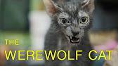 Daciana The Werewolf Cat Princess (Lykoi Cat ~ The