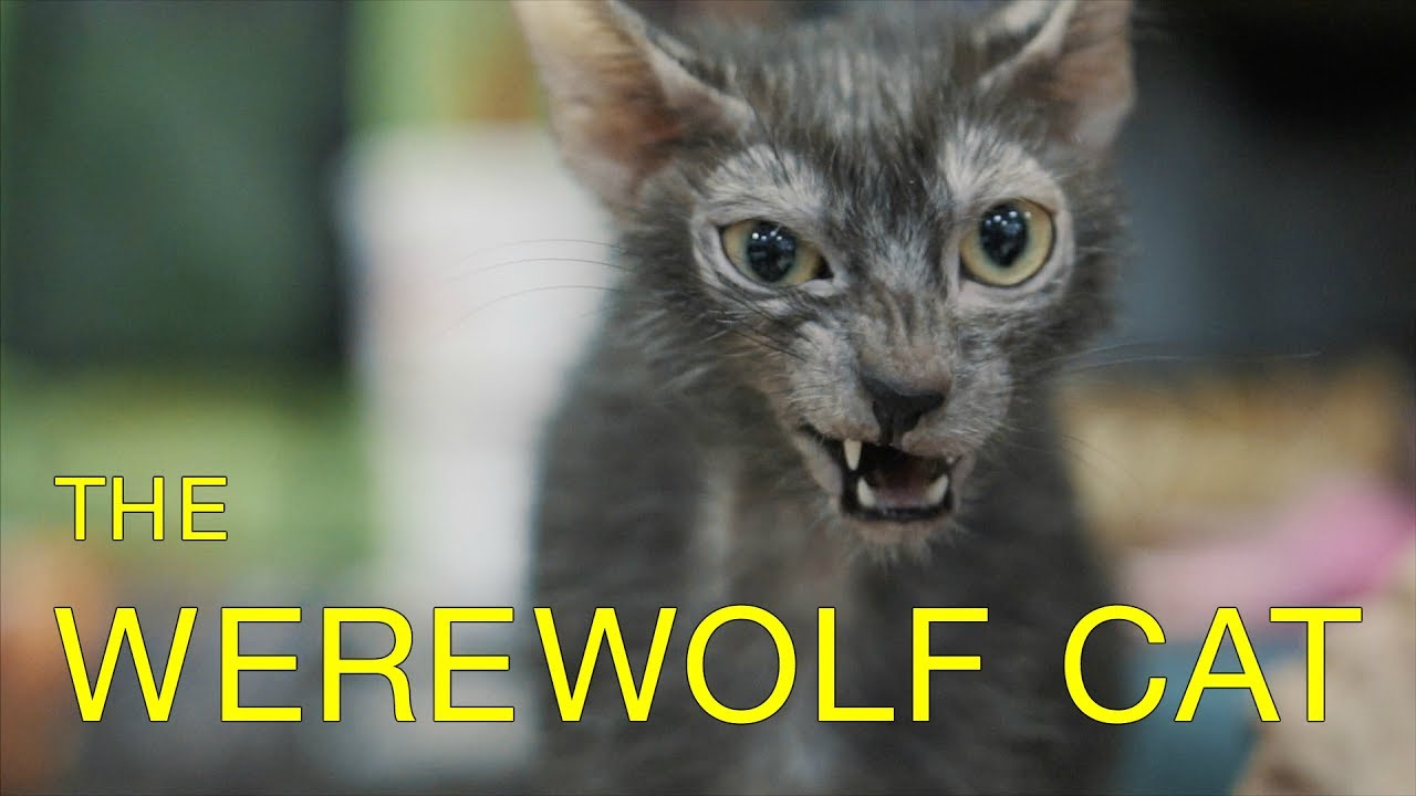 werewolves compete in cat show