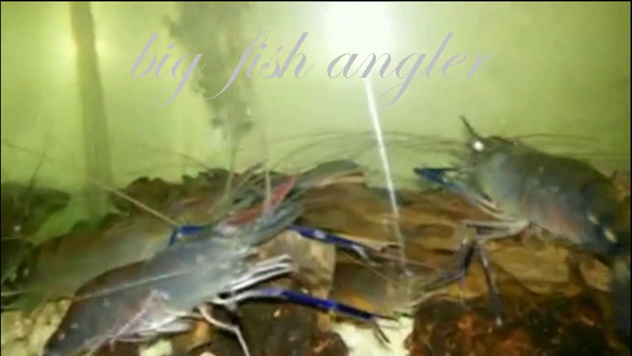 Memelihara Udang Galah Dalam Aquarium Youtube