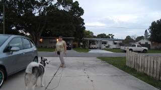 Siberian Husky Enkei Obedience Training