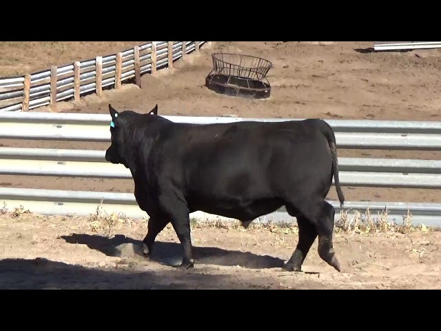 Connealy Angus Lot 22
