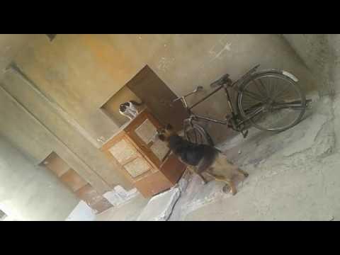 Dog vs cat fight but cat very daring cat se panga Na lena