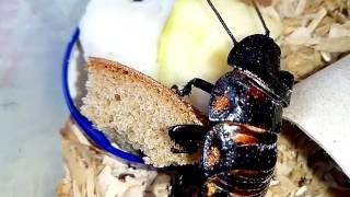 Мадагаскарский таракан Джони вышел подкрепиться