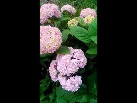 Голова садовая - Выращиваем самую красивую гортензию - YouTube