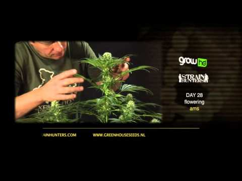 A.M.S. - Green House Grow Sessions