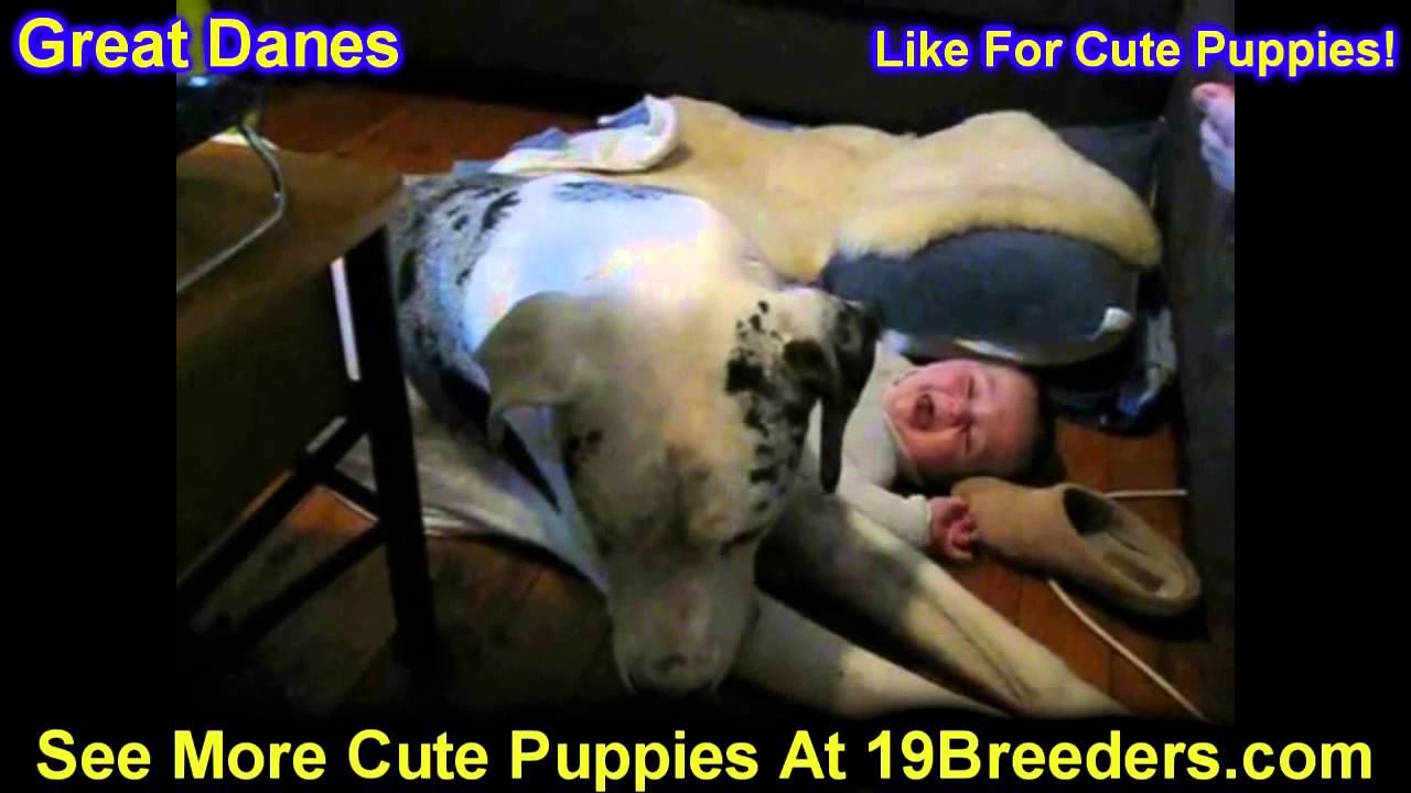 Great Dane Puppies For Sale In Philadelphia Pennsylvania Pa Borough State Erie York