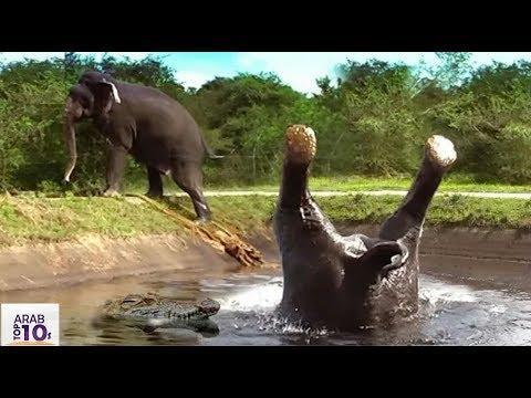 سقط صغير الفيل بجوار تمساح جائع فشاهد ماذا فعلت | مشهد يحبس الأنفاس