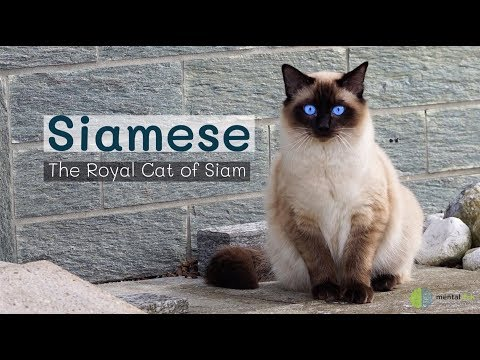 Siamese – The Royal Cat of Siam