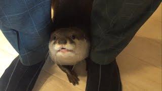 カワウソさくら  絶対くっついて離れない!  Otters not leaving the owner thumbnail