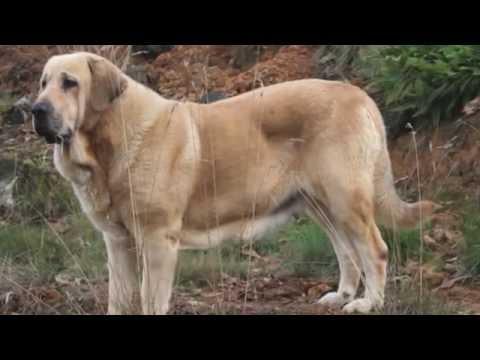 Top 5 Cani Piu Grandi Al Mondo Youtube
