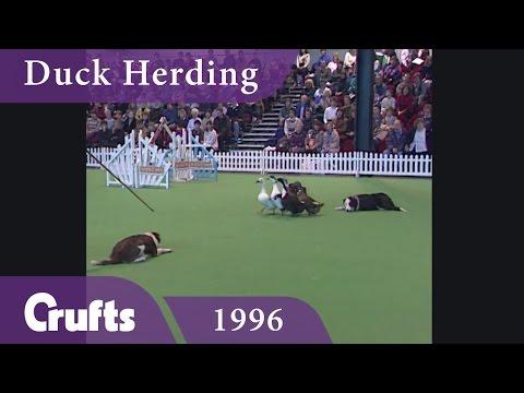 Duck Herding at Crufts 1996 | Crufts Classics