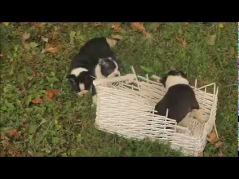 Boston Terrier Puppies For Sale Melvin Fisher