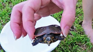 Baby Turtle Rescue