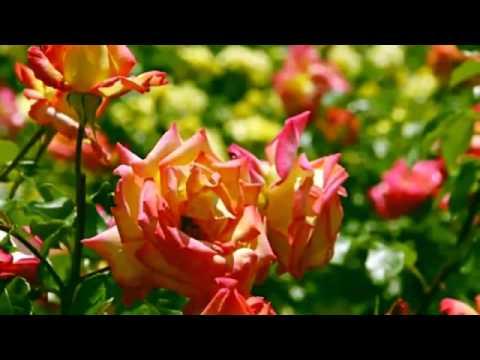 Красивая нежная музыка и цветы