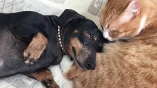 Такса Дези кот Вася Кошка Мура лабрадор Дана