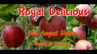 Royal Delicious Apple Variety, Mid August Status. by Inside Great Himalaya