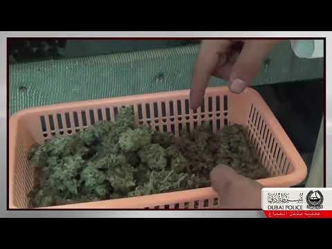 Dubai Police Seizes 38 MARIJUANA Plants from villa