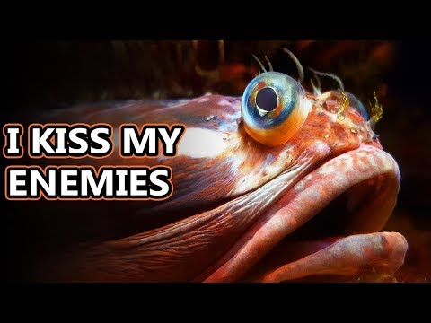 Sarcastic Fringehead Facts: Extreme Snogging | Animal Fact Files