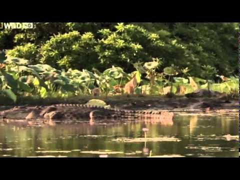 Doku Deutsch Krokodile   Anmutige, Gefährliche Tiere doku Deutsch