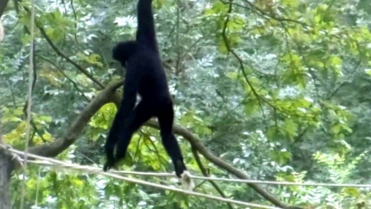 Pictures of monkeys swinging on vines-8185