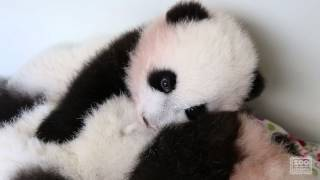 "Panda Cubs - ""When Your Brother Doesn"