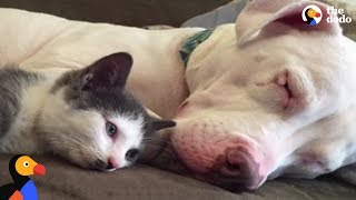 Pit Bull Dogs LOVE Their Duck, Guinea Pig, and Kitten Siblings | The Dodo Odd Couples thumbnail
