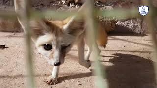 أصغر أنواع الثعالب في العالم /Fennec Fox/Vulpes zerda