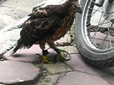 huan luyen chim ung