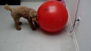Red Miniature Poodle Vs Red Exercise Ball