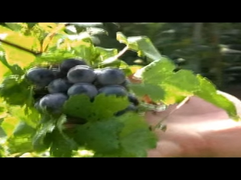 *Blue 'Concord' Bunch Grape Vines* +Vitis labrusca+Grape Vine+