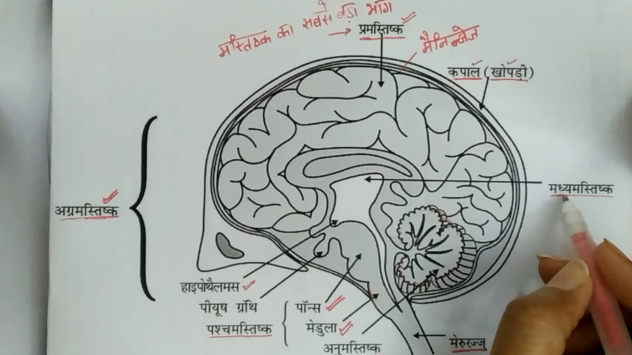 Functions of parts of brain class 10 science (hindi ...