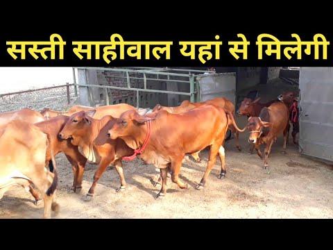 साहीवाल गाय यहां से ले शुरू करें sahiwal Dairy farm| How convert HF to sahiwal breed