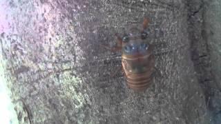 セミの幼虫を撮影、テコテコ歩いていてなかなか愛らしい.