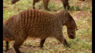 Deadly Mongoose Battle | BBC Earth