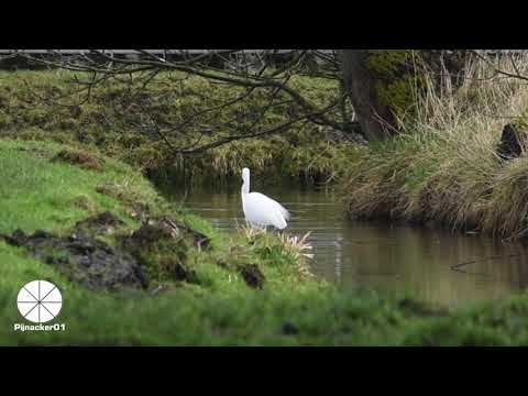 #Relax to the White Heron Fishing with a #Kingfisher in #Pijnacker South Holland
