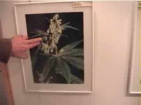 A tour of the Hash, Marijuana and Hemp museum at Sensiseeds, Amsterdam