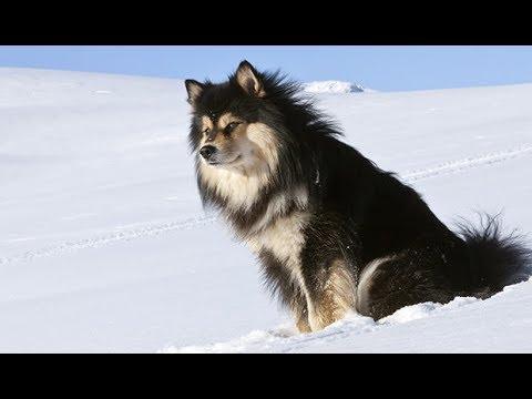 Finnish Lapphund / Lapinkoira