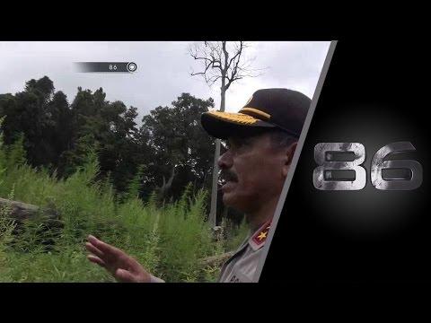 86 Pemusnahan Ladang Ganja Terbesar di Aceh