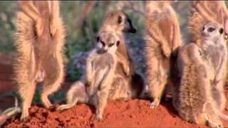 Сурикаты — маленькие сторожа пустыни   Различные короткие видео ролики, приколы и др  @ EX UA(, 2012-08-22T16:20:54.000Z)