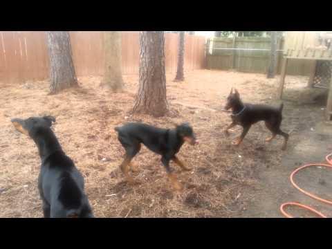 3 Doberman pinschers playing