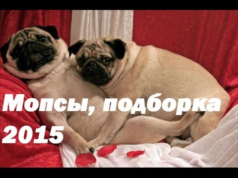 Приколы! Подборка Смешнот с Мопсами. 5 минут хорошего настроения! 2015 Funny Pugs Compilation 5 min