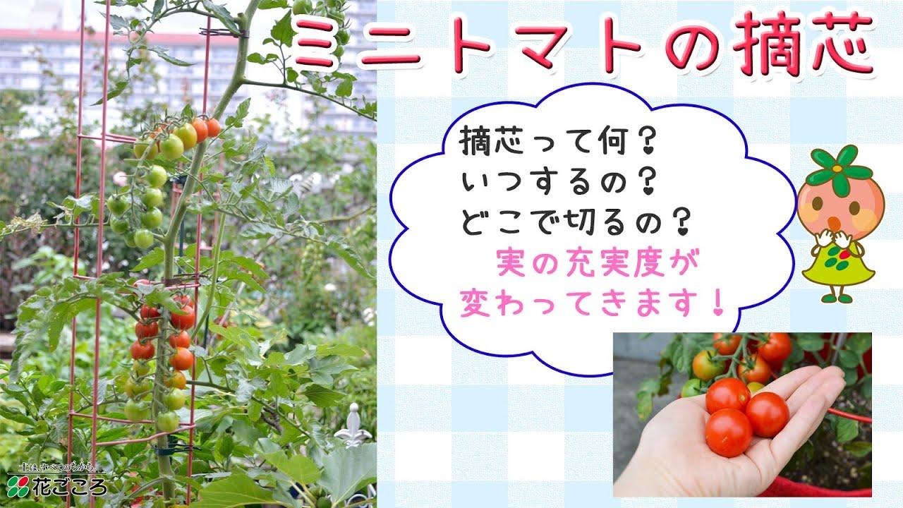 トマト 栽培 摘芯