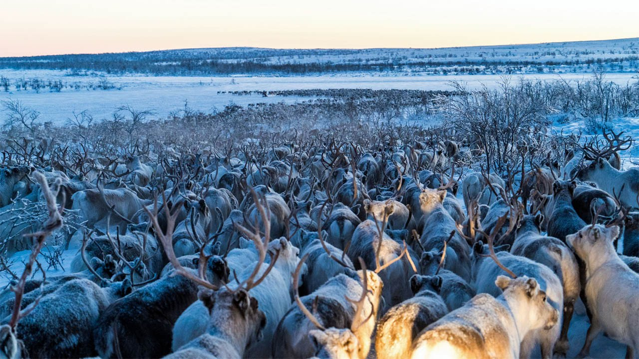 For both caribou and reindeer cold climates are where they thrive Covered in head to toe with hollow hairs that trap in the air and insulate from the cold they are built for the tundra and high mountain ranges