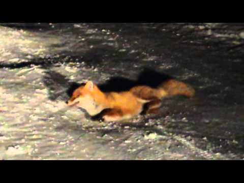 Rabid Fox Doovi