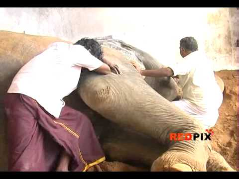 Actor Sivaji Ganesan's Elephant in Thanjavur Temple dies -- Emotional Moments -- Red Pix