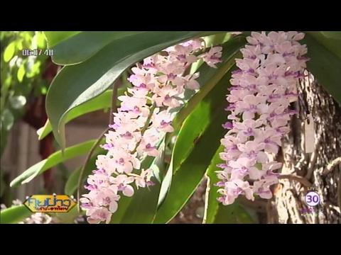 100 เรื่องเมืองไทย : อุทยานกล้วยไม้ป่าช้างกระ วัดป่ามัญจาคีรี ขอนแก่น