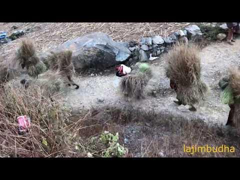 himalayan people carry the grass