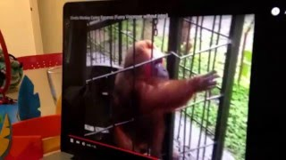 baby eating banana with ghetto monkey